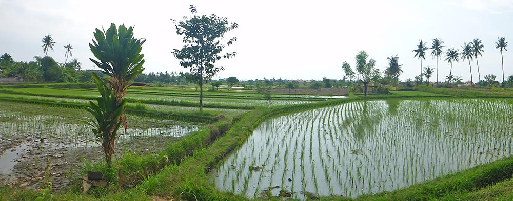 Lovina Rizières, Bali