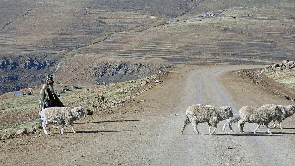Basotho moutons