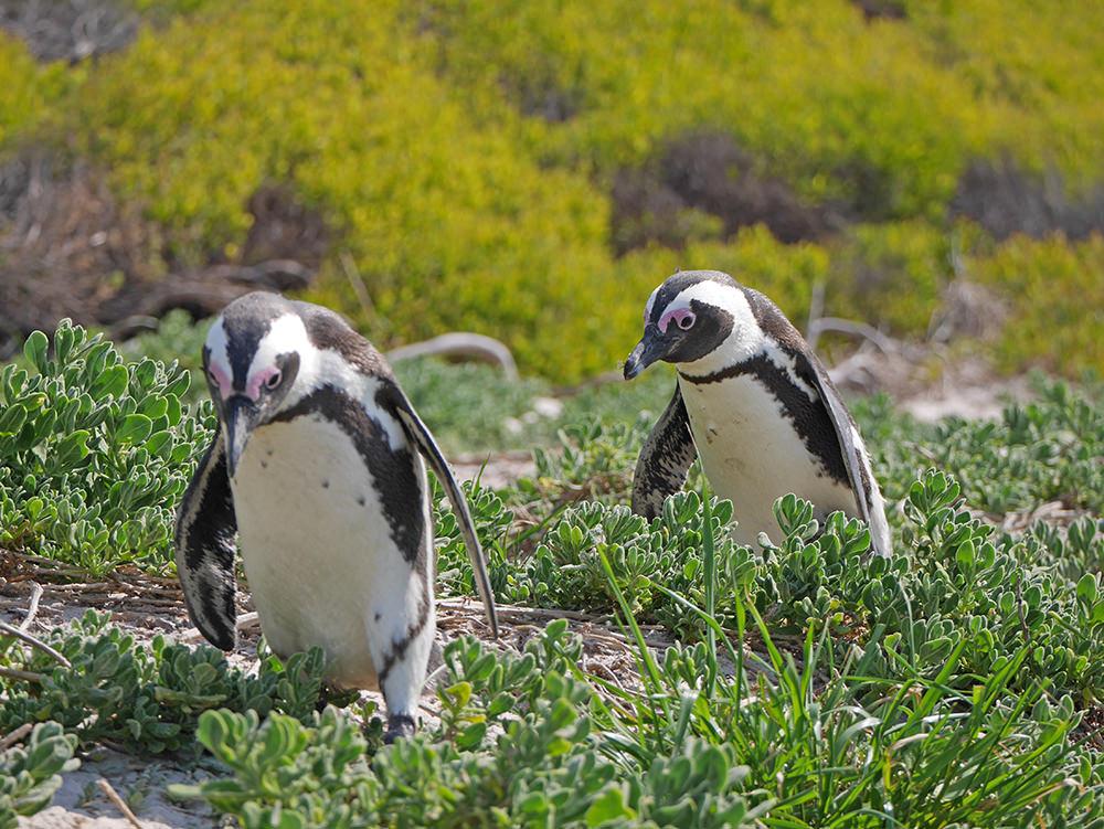 Cape Town Manchot Pingouin 2