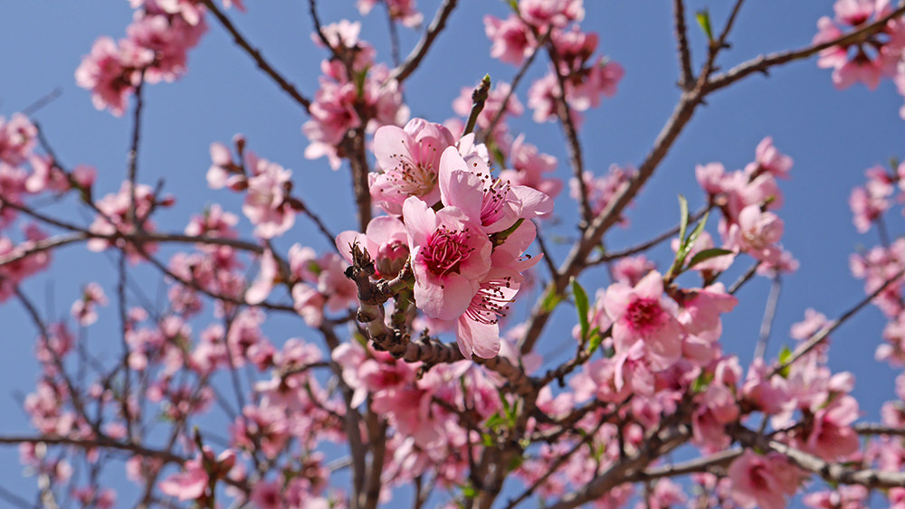 Fleurs de Pechers