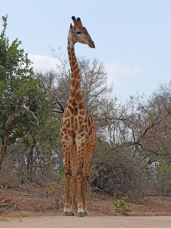 Girafe Afrique du Sud Safari