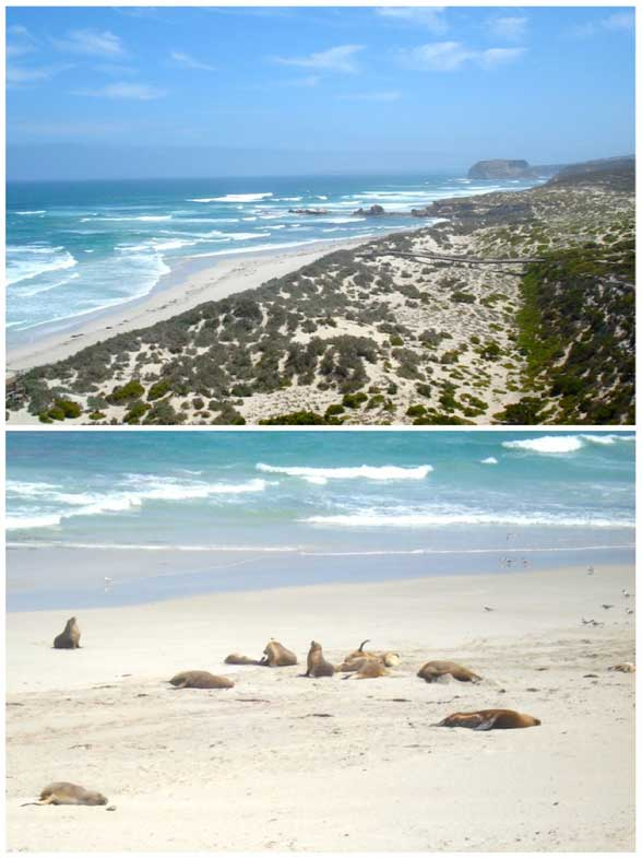 Kangaroo Island Australie Phoque