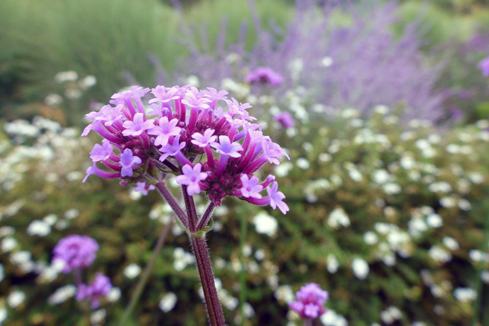 Fleurs, Jardins du Château de Villandry, Pays de la Loire