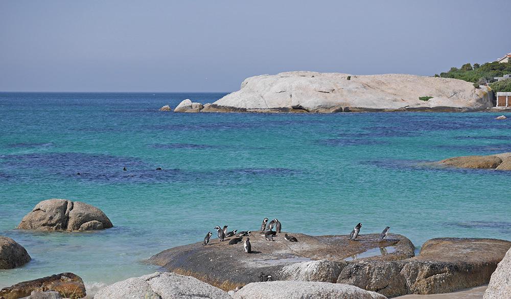 Cape Town Manchot Pingouin