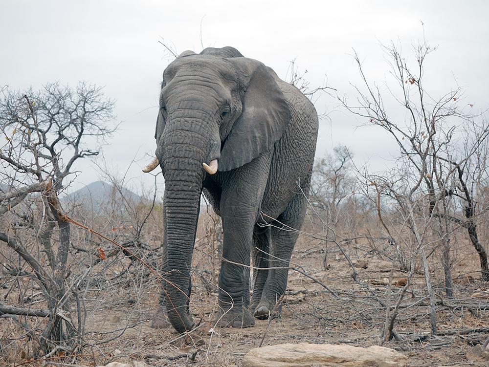 Elephant afrique du sud safari kruger