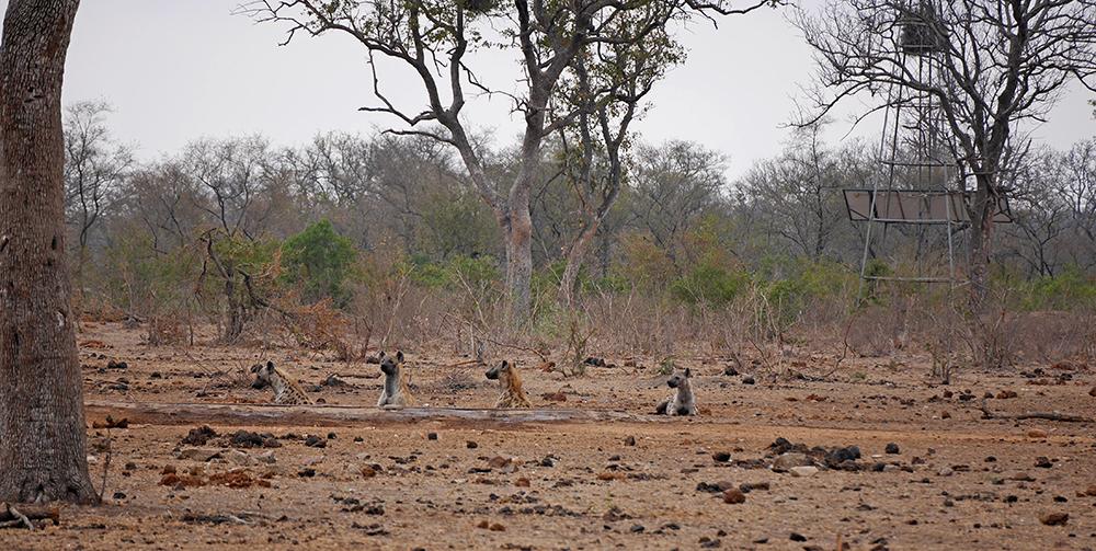 Hyene Afrique du Sud Safari