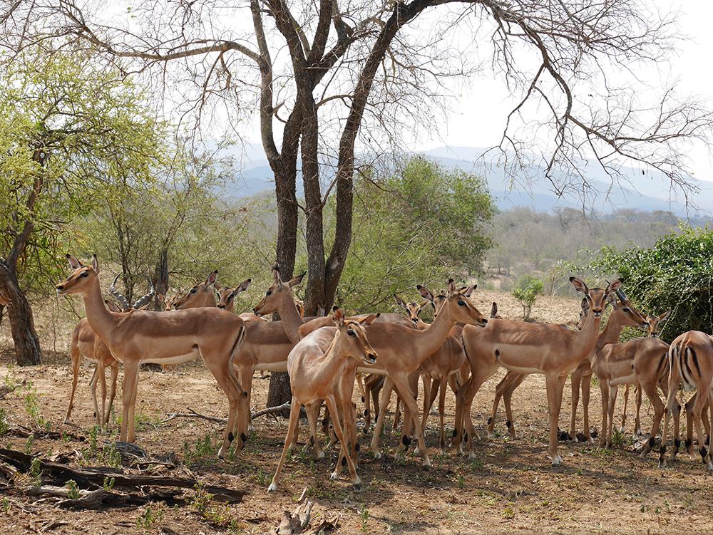 Impala Afrique du Sud