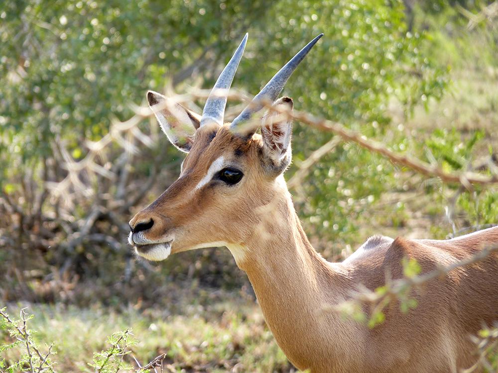 Impala Safari Kruger
