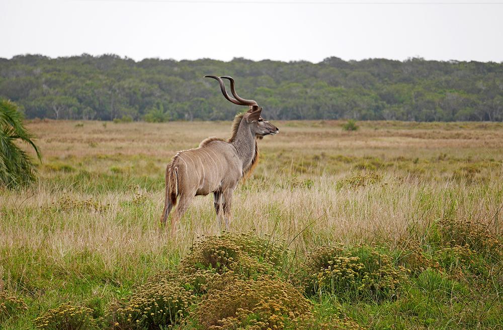 Kudu Safari Afrique du Sud