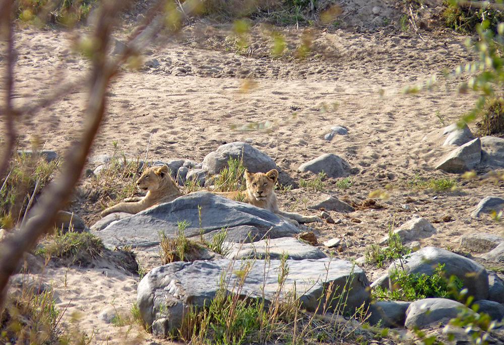 Lion Safari Afrique du Sud