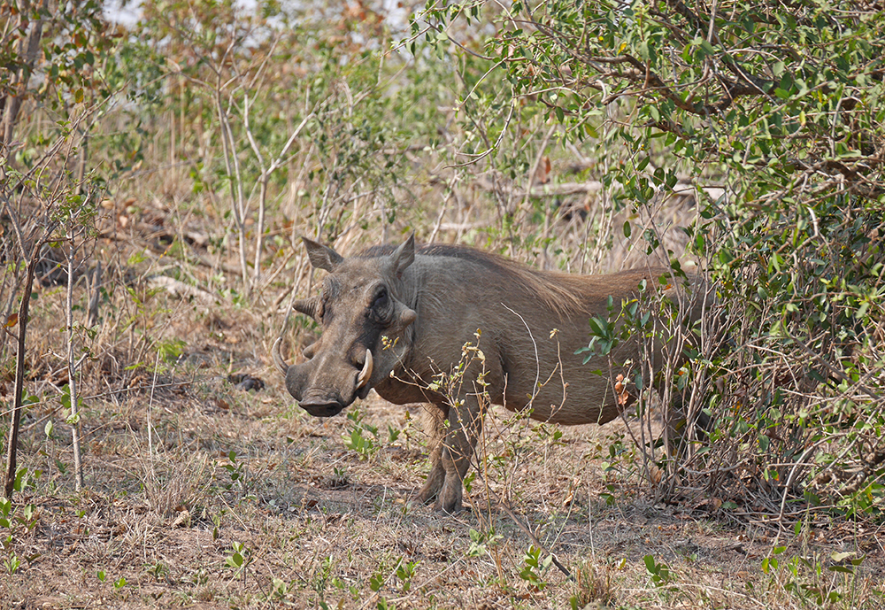 Pumba Phacohere Safari Kruger