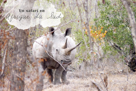 Rhinoceros BLanc Afrique du Sud