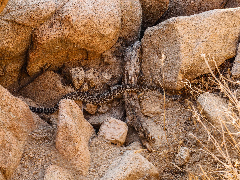 Un petit serpent à sonnette au coeur de Joshua Tree National Park